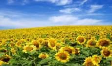 """بذور """"قرص الشمس"""" تؤثر سلبا على صحة الإنسان"""
