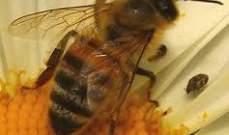 النحل أكثر فائدة لبريطانيا من العائلة المالكة