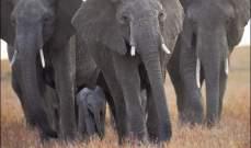 سلطات كينيا تنقل 30 فيلاً من مناطق زراعية خوفا من غضب المزارعين
