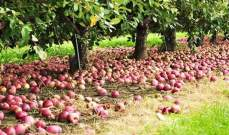 مهرجان للتفاح في بسكنتا: فاكهة خالية من أي مواد ضارة