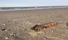 ظهور حيوان مرعب على شاطئ تكساس بعد الإعصار