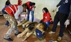 إنقاذ ثلاثة أسود من حديقة حيوانات ألبانية ونقلها إلى هولندا