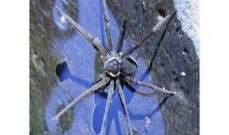اكتشاف عنكبوت يقتات على الضفادع والأسماك