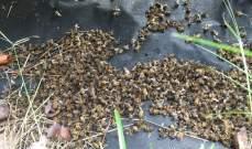 النحل يقتل شابا أميركيا