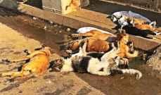 مجهولون أقدموا فجراً على تسميم حوالي تسعين كلباً في منطقة الميناء