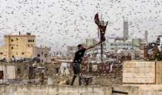 أسراب الجراد قادمة من اليمن تغزو السعودية