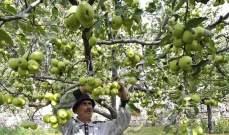 هيئة العليا للاغاثة تعلن توزيع شكات الدفعة الثانية لمزارعي التفاح بدءا من يوم غد