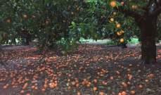 أشجار الكلمنتين في سهل عكار تضررت والمزارعون ناشدوا المسؤولين تعويضهم