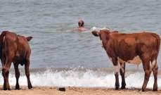 """السويد تسمح للأبقار بزيارة """"شواطئ العراة"""""""