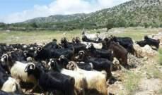 دورية اسرائيلية تخطف 100 رأس ماعز لأحد الرعاة في خراج بلدة شبعا