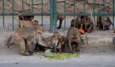 قرود يسرقون عينات دم مرضى كورونا في الهند