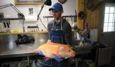 العثور على سمكة ذهبية عملاقة عمرها 100 عام