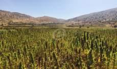 النشرة: استقصاء الجنوب توقف شخصا بجرم زراعة الحشيشة في بلدة الخيام
