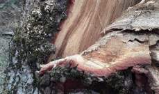 مجهولون أقدموا على قطع اشجار شوح من غابات القموعة في عكار