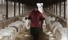 البيئة الدنماركية قررت إعدام حوالي مليون من حيوانات المنك لمنع تفشي كورونا
