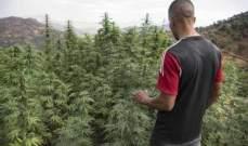 400 ألف شخص يعملون بالزراعة في المغرب غير المشروعة للقنب الهندي