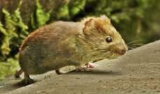 حملة عسكرية للتخلص من الفئران في نيوزلندا