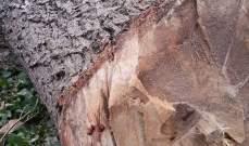 جريمة بيئية في بلدة حمانا ضحيتها ثلاث اشجار معمرة وبإذن من البلدية