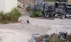 النشرة: سكان تول شكوا ظاهرة الكلاب الشاردة وحرق النفايات