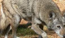 النشرة:جريحان جراء مهاجمة ذئب لهما في بلدة عرب الجل الجنوبية