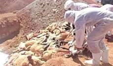 الطاعون قضى على نحو 10 آلاف رأس ماشية في 28 ولاية جزائرية
