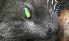 قطة حديثة الأمومة تتبنى أربعة سناجب في حديقة في القرم
