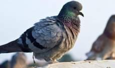 بكتيريا من فضلات طيور الحمام تنتشر في اسكتلندا وتتسبب بمقتل اثنين