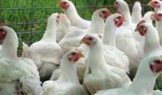 حكومة كاجاوا باليابان أعدمت 91 ألف دجاج بعد تأكيد تفشي إنفلونزا الطيور
