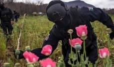 سلطات المكسيك تصادر نبات الخشخاش الذي يستخدم في صناعة المخدرات