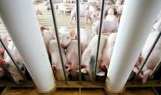 تسجيل أول إصابة بحمى الخنازير الأفريقية في كوريا الشمالية