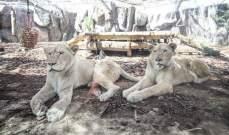 هروب 14 أسدا من حديقة في جنوب إفريقيا