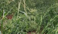 النشرة: أضرار جسيمة لحقت بالمزروعات في كامد اللوز جراء السيول والبرد