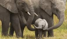 إنقاذ فيلة صغار علقوا في حفرة طين لعدة أيام