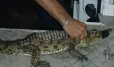 القبض على تمساح طوله أكثر من متر بعد ظهوره في مدينة بورسعيد في مصر