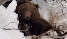 العثور على رجل خطفه دبا لمدة شهر في روسيا