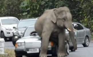 فيل يحطم سيارات بسبب تعرضه لضغوط نفسية قبل الزواج