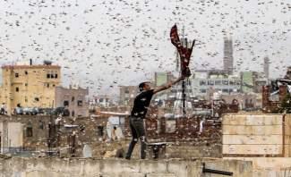 النشرة: ظهور أسراب جراد في جرود رأس بعلبك وعرسال ومناشدات لمكافحتها