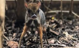 ولادة حيوان غريب في بريطانيا يجمع صفات الغزال والفأر