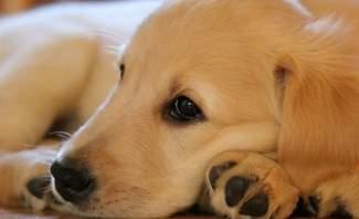 """كلبة تدخل موسوعة """"غينيس"""" الروسية بولادة 19 جروا دفعة واحدة"""