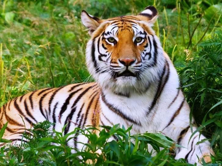 نمر ينهش رجلا حتى الموت في إندونيسيا