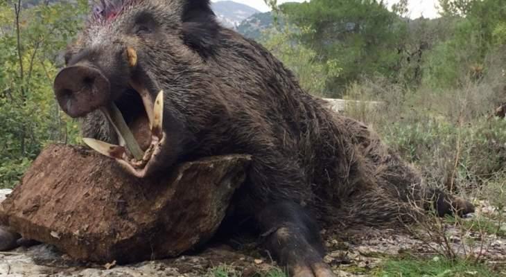 النشرة: الخنازير البرية تهاجم البساتين والحقول في حوضي الحاصباني والليطاني