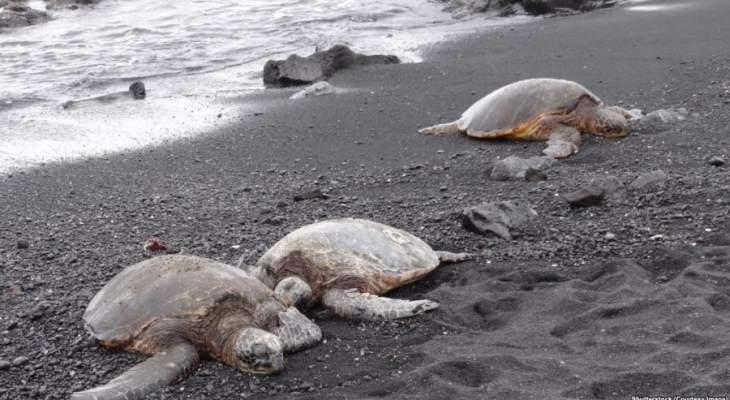 مصر تطلق السلاحف لمواجهة قناديل البحر
