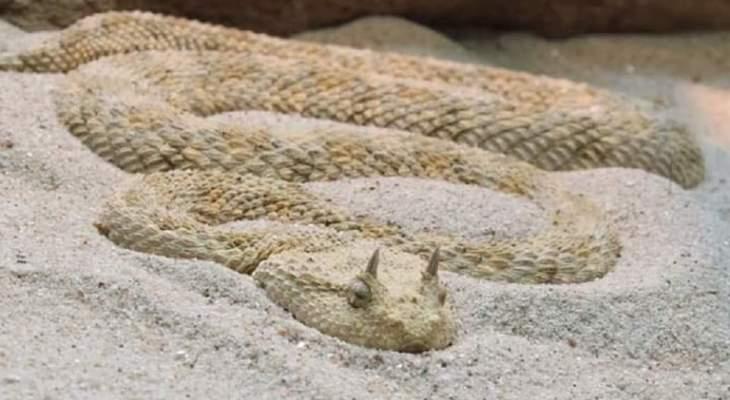 اختلال بالتوازن البيئي في مصر يتسبب في ظهور ثعابين قاتلة