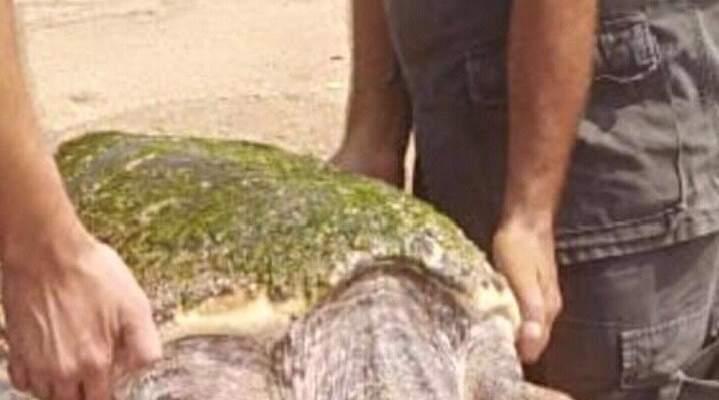 إنقاذ سلحفاة ضخمة عالقة على شاطئ العريضة
