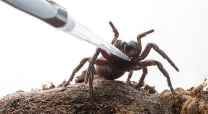 أخطر عنكبوت على الارض قد يحد سمّه من أضرار السكتة الدماغية