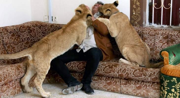 عراقي يربي الأسود داخل منزله في البصرة ويعتبرها من عائلته