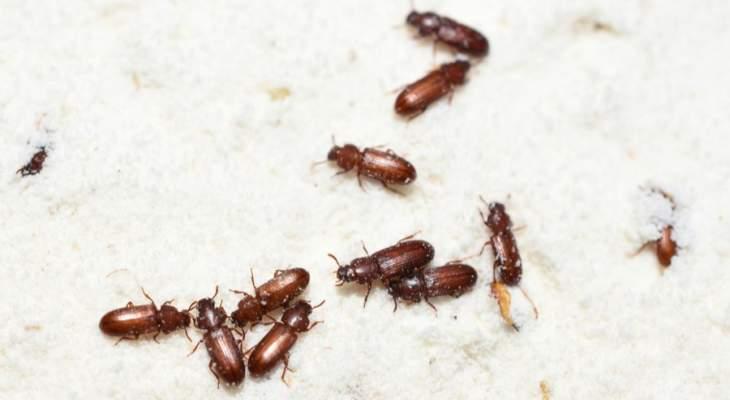 الاتحاد الأوروبي يسمح باستخدام نوع من الحشرات مصدراً غذائياً