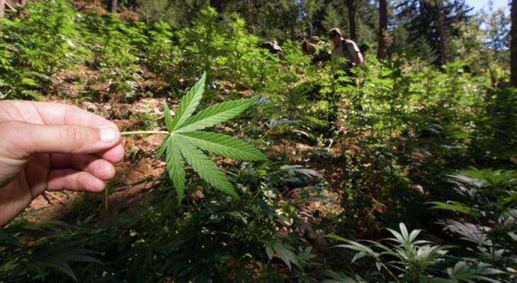 """إسرائيل تعزز عائداتها الزراعية بتجارة """"الماريجوانا"""""""