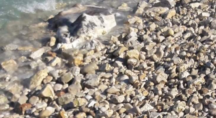 بقرة نافقة على شاطىء تخوم البترون والاهالي ناشدوا العمل على رفعها