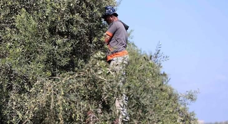 ارتفاع أسعار الزيت والزيتون والمزارعون يناشدون عدم استيراد الزيت من الخارج